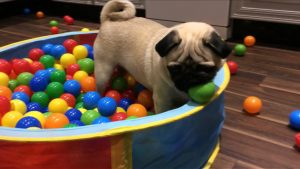 pug in a ball pit