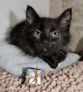 Black foster kitten with present