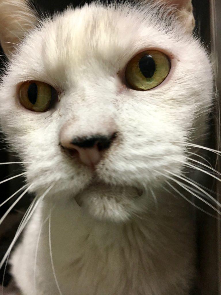 Adoptable cat Cyrus