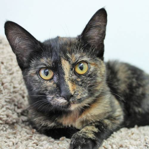 Meet Adoptable Cats Ashes Tina Cassiopeia And Leanna Willamette Humane Society