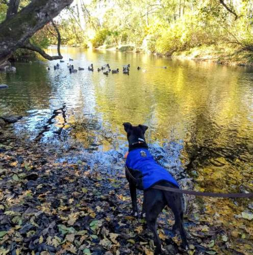 Dog looking at ducks